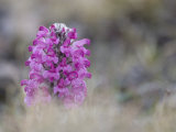 Close Up of Indigneous Wooly Lousewort,Pedicularis Lanata, Wildflower Photographic Print by John Dunn