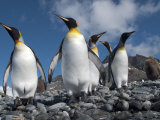 King Penguins in a Coastal Rookery with Mountains in the Distance Fotografie-Druck von Kent Kobersteen