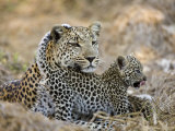 Leopard Cub under the Watchful Eye of its Mother Photographic Print by Michael Polzia