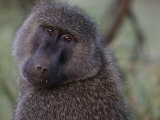 Baboon Eating Palm Nuts Photographic Print by Michael Nichols