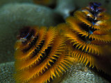 Brightly Colored Christmas Tree Worms Photographic Print by Nick Norman