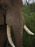 Elephant with a Broken Tusk in Samburu National Reserve Photographic Print by Michael Nichols