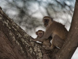 Black-Faced Vervet and Baby Perched in a Tree Photographic Print by Beverly Joubert