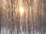 Line of Larch Trees at Sunset in a Snow Shower Photographic Print by Michael S. Yamashita