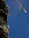 Kittiwakes Perch on a Cliff Side Photographic Print by Ralph Lee Hopkins