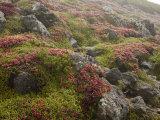 Alpine Bearberies at the Top of Mt. Kurodake Photographic Print by Michael S. Yamashita