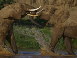 Pair of Elephants Playing in a River in Samburu National Reserve Photographic Print by Michael Nichols