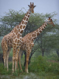 Pair of Giraffes in Samburu National Reserve Photographic Print by Michael Nichols