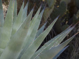 Agave Plant in the Foothills Near Cave Creek Photographic Print by Scott Warren