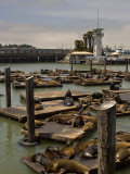 Sea Lions Bathe on the Wooden Docks in the San Francisco Bay Photographic Print by Hannele Lahti