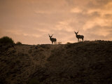Kudus Silhouetted Against a Cloudy Sunset Sky Photographic Print by Michael Polzia