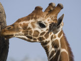 Giraffe in Samburu National Park Photographic Print by Michael Nichols