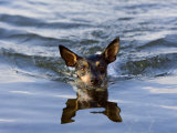 Close Up of Rat Terrier Swimming in the Water with a Reflection Photographic Print by Karine Aigner