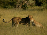 Leopards Photographic Print by Beverly Joubert