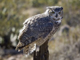 Great Horned Owl That Is Part of the Raptor Free Flight Program Photographic Print by Scott Warren