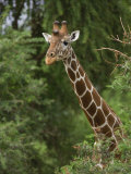 Alert Giraffe Photographic Print by Michael Nichols