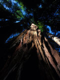 Looking Up at a Sierra Redwood Tree Photographic Print by Nick Norman