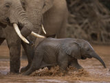 Elephant Group Waits as a Baby Plays in the River During a Crossing Photographic Print by Michael Nichols