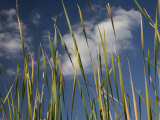 Tall Grasses in Chekika, a Closed Area of Everglades National Park Photographic Print by Michael Melford
