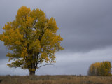 Tree in Autumn Hues in a Field under a Sky with Heavy Clouds Photographic Print by William Allen