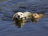 Adult and Puppy Labradors Playing Fetch with a Stick in the Water Photographic Print by Roy Toft