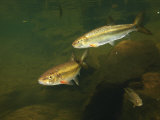 River Chubs and Blue Gill Forage for Food in a Clear Mountain Stream Photographic Print by George Grall