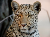 Close Portrait of a Leopard, Panthera Pardus Photographic Print by Beverly Joubert