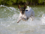 Active Rat Terrier Dog Jumping Out of the Water Looking at the Camera Photographic Print by Karine Aigner