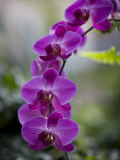 Purple Orchid at the Botanic Garden Fotografisk tryk af David Evans