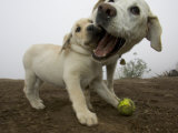 Adult White Labrador Playfully Biting at a Puppy Photographic Print by Roy Toft
