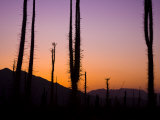Boojum Trees, Cirio Columnaris, in a Desert Landscape at Sunset Photographic Print by Ralph Lee Hopkins
