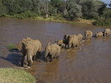 Elephant Matriarch Leads Her Group across a River Photographic Print by Michael Nichols