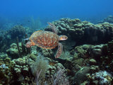Endangerd Green Sea Turtle, Chelonia Mydas, Swimming in a Coral Reef Photographic Print by George Grall