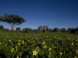African Elephant Walking Through a Plain of Blooming Wildflowers Photographic Print by Beverly Joubert