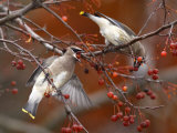 Two Cedar Waxwings, Bombycilla Cedrorum, Eating Crab Apples Photographic Print by George Grall