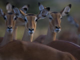 Group of Alert Impalas Photographic Print by Michael Nichols