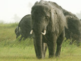 Herd of Grazing African Elephants in a Rain Storm Photographic Print by Beverly Joubert
