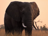 Elephant in the Okavango Delta Photographic Print by Gianluca Colla