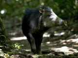 White-Lipped Peccary Walking in Forest Photographic Print by Roy Toft