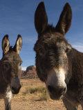 Donkeys Peer at the Camera in a Desert Scene Fotografisk tryk af Ralph Lee Hopkins