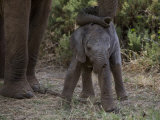 Newborn Elephant Is Sheltered by its Mother Photographic Print by Michael Nichols