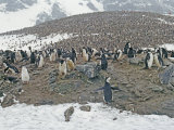 Chinstrap Penguin (Pygoscelis Antarctica) Rookery Photographic Print by Gordon Wiltsie