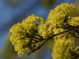 Inflorescence of Field Maple Tree, Acer Campestre Photographic Print by Jozsef Szentpeteri
