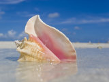 Queen Conch Shell in Shallow Water on a Sandbar in the Florida Keys Photographic Print by Mike Theiss