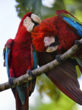 Pair of Scarlet Macaws Perched on a Tree Limb, Grooming Photographic Print by Mattias Klum