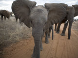African Elephants on a Dirt Road in Samburu National Park Photographic Print by Michael Nichols