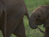 Baby Elephant Grasping its Mother's Tail Photographic Print by Michael Nichols