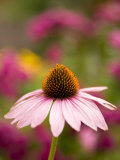 Single Cone Flower (Echinacea Purpurea) Stands Out in a Garden Photographic Print by Ralph Lee Hopkins