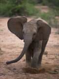 Juvenile Elephant on the Move in Samburu National Park Photographic Print by Michael Nichols