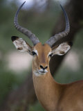 Alert Impala in Samburu National Reserve Photographic Print by Michael Nichols